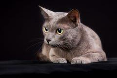 Purebred Korat cat Stock Images