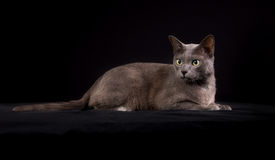 Purebred Korat cat Royalty Free Stock Photo