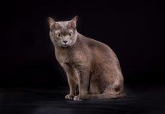 Purebred Korat cat Stock Photography