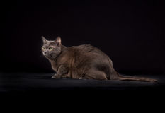 Purebred Korat cat Royalty Free Stock Photos