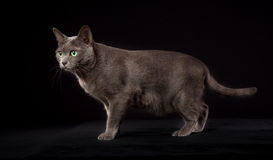 Purebred Korat cat Stock Images