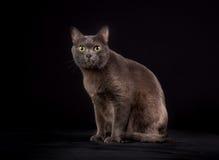 Purebred Korat cat Stock Photo
