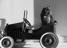 Purebred kot w samochodzie Obrazy Royalty Free