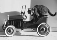 Purebred kot w samochodzie Obraz Stock