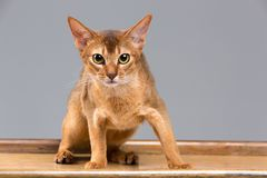 Purebred kota abyssinian młody portret Obraz Royalty Free