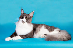 Purebred kota Maine Coon Obraz Royalty Free