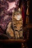 Purebred kota Syberyjski obsiadanie na krześle Fotografia Royalty Free
