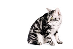 Purebred Kunashir cat Royalty Free Stock Photos