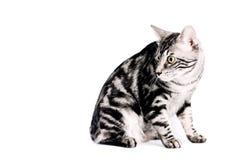 Purebred Kunashir cat Royalty Free Stock Photos
