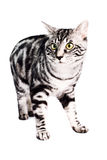 Purebred Kunashir cat. Portrait of a silver tabby blotched Kunashir cat with naturally bobbed tail Stock Photo
