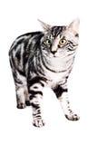 Purebred Kunashir cat Stock Photo
