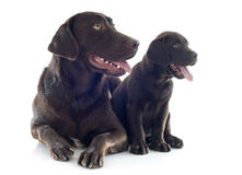 Labrador retriever, adult and puppy Royalty Free Stock Photo