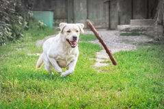 Purebred labrador runs after a flying stick.  Royalty Free Stock Photography