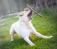 Purebred labrador tries to catch a flying stick Stock Photo