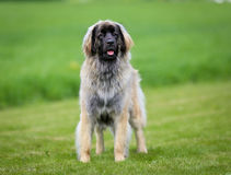 Purebred Leonberger dog Royalty Free Stock Photo