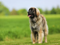 Purebred Leonberger dog Stock Images