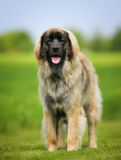 Purebred Leonberger dog Royalty Free Stock Photos