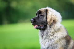 Purebred Leonberger dog Royalty Free Stock Images