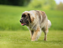 Purebred Leonberger dog Stock Photography