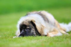 Purebred Leonberger dog Royalty Free Stock Photography