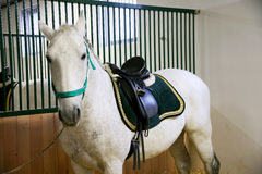 Purebred lipizzaner horse standing in the stable Stock Photo