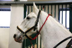 Purebred lipizzaner horse standing in the stable Royalty Free Stock Photography