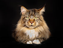 Purebred maine coon Stock Images