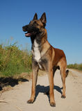 Purebred malinois Stock Photos