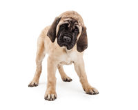 Purebred Mastiff Puppy Dog Standing Over White Royalty Free Stock Photos