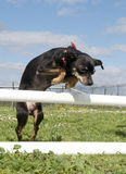 Miniature pinscher in agility Royalty Free Stock Photo