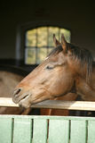 Purebred nervous  racing horse smelling in the barn Royalty Free Stock Image