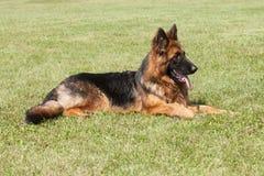 purebred Niemiecki Pasterski pies na zielonym tle Obrazy Royalty Free