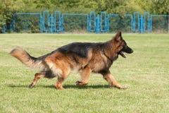 purebred Niemiecki Pasterski pies na zielonym tle Zdjęcia Stock