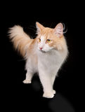 Purebred norwegian forest cat Stock Photography