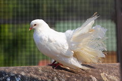 Purebred pigeon Royalty Free Stock Photography