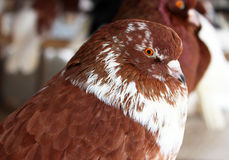 Purebred Pigeon brown color. Royalty Free Stock Photography