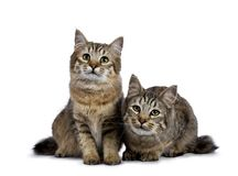 Duo of two Pixie Bob cat kittens sitting straight up and laying down isolated on white background and facing camera. Purebred Pixie Bob cats isolated on isolated Royalty Free Stock Photos