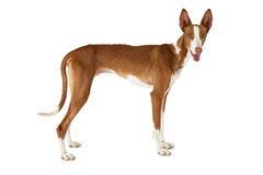 Purebred Podenco ibicenco dog isolated on white Stock Photography