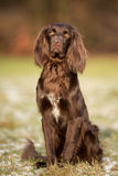 Purebred pointer dog Royalty Free Stock Photography