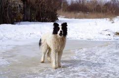 Purebred dog is barking outside. Purebred pretty dog is barking outside in winter Royalty Free Stock Photography