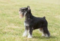 Purebred psi Miniaturowy schnauzer Obrazy Royalty Free