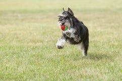Purebred psi Miniaturowy schnauzer na zielonej trawie bawić się z Zdjęcie Stock