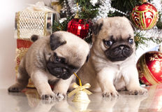 Purebred pug puppy Stock Images