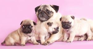 Purebred pug puppy Stock Image