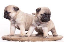 Purebred pug puppy Royalty Free Stock Photo
