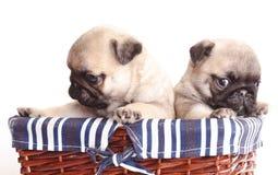 Purebred pug puppy Royalty Free Stock Photos