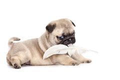 Purebred pug puppy. Portrait of a close-up purebred pug puppy Royalty Free Stock Photo