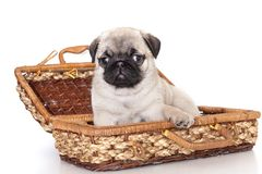 Purebred pug puppy Royalty Free Stock Photography