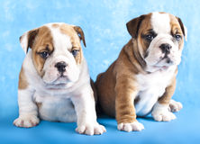 Purebred  puppies Royalty Free Stock Photos