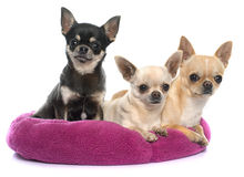 Purebred puppies chihuahua Royalty Free Stock Images
